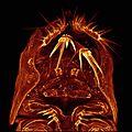 Plathychelipus littoralis.jpg