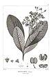 Platycarpum orenocense 104.jpg