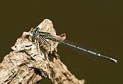 Platycnemis pennipes LC0152.jpg