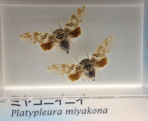 500px platypleura miyakona   national museum of nature and science, tokyo   dsc07088