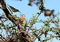 Plicosepalus sagittifolius Makueni County 6.jpg