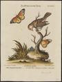 Ploceus bengalensis - 1700-1880 - Print - Iconographia Zoologica - Special Collections University of Amsterdam - UBA01 IZ15900047.tif