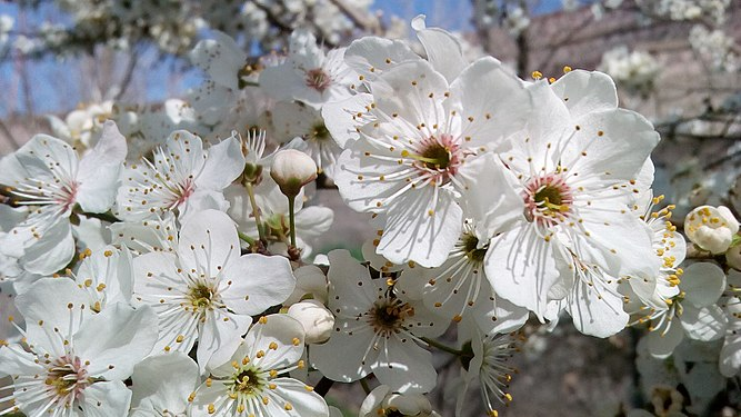 Plum tree flowers.jpg