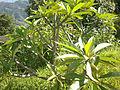 Plumeria obtusa NP.jpg