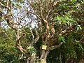 Plumeria rubra (505831681).jpg
