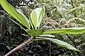 Plumeria rubra 14zz.jpg