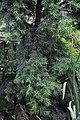 Podocarpus gaussenii.jpg