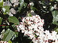 Polistes wasp on Viburnum tinus 02.jpg