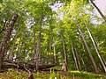 Poloniny - Beech forest virgin area 02.JPG