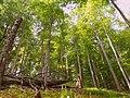 Poloniny - Beech forest virgin area 02.JPG