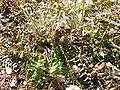 Polystichum acrostichoides 1.jpg