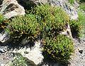 Polystichum lemmonii (Shasta Fern) - Flickr - brewbooks (4).jpg
