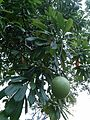 Pong pong tree.jpg