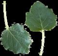 Populus alba leaf front side.png