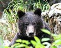Portrait of a young bear (1751270698).jpg