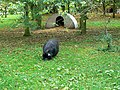 Pot-bellied pig at home, Winterbourne Monkton - geograph.org.uk - 1010502.jpg