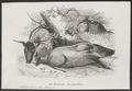 Potamochoerus penicillatus - 1700-1880 - Print - Iconographia Zoologica - Special Collections University of Amsterdam - UBA01 IZ21900187.tif