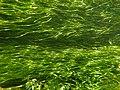 """Potamot pectiné Stuckenia pectinata dans """"Les Baillons"""" à Enquin-sur-Baillons 01.jpg"""