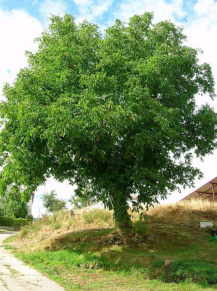 File pradanos del tozo wikimedia commons for Arboles de jardin de hoja perenne