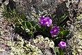 Primula hirsuta-4583 - Flickr - Ragnhild & Neil Crawford.jpg