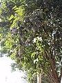Privet fruits.jpg