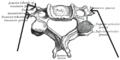 Processustransversusvertebrae.PNG