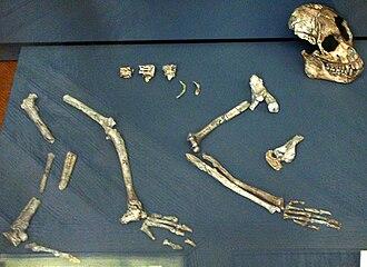 Proconsul (mammal) - Proconsul nyanzae fossil, Muséum national d'histoire naturelle, Paris.