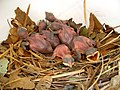 Progne subis -Tulsa, Oklahoma, USA -chicks in nestbox-8.jpg