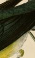 Prononatory warbler detail 2.png