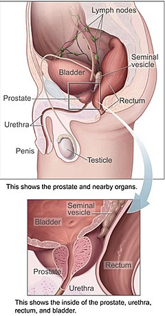 Urinary bladder - Wikipedia