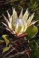 Protea cynaroides 1DS-II 5830.jpg