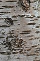 Prunus cerasus Montmorency tree bark 12.jpg