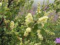 Prunus ilicifolia2 LytleCreek.jpg