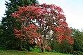 Prunus sargentii JPG1b.jpg
