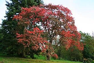 Natural monuments of North Korea - Image: Prunus sargentii JPG1b