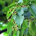 Prunus serotina11.jpg