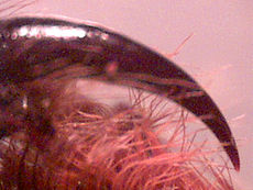 uger netedă pentru venele păianjenului