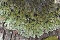 Pseudocyphellaria (3164124810).jpg