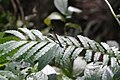 Psolodesmus mandarinus dorothea 53016410.jpg