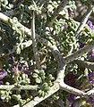 Psorothamnus polydenius 3.jpg