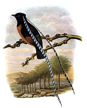 King of Saxony bird-of-paradise - Illustration of male