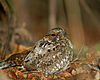 Puerto Rican nightjar sitting in leaves