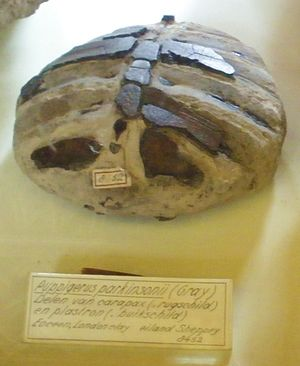 James Parkinson - Fossilized turtle Puppigerus found in the London Clay on the Isle of Sheppey and named for Parkinson, collection Teylers Museum