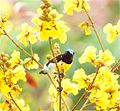 Purple-rumped Sunbird in Summer.jpg