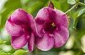 Purple Alamanda-1 (31735457303).jpg