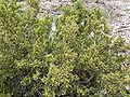 Purshia glandulosa 12.jpg