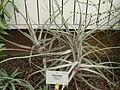 Puya laxa - Berlin Botanical Garden - IMG 8734.JPG