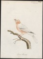 Pyrrhula coccinea - 1786-1789 - Print - Iconographia Zoologica - Special Collections University of Amsterdam - UBA01 IZ16000319.tif