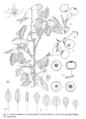 Pyrus castribonensis.png