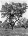 Queensland State Archives 3288 Coolibah Bundaleer c 1910.png